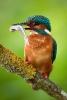 Der Eisvogel (Alcedo atthis)...