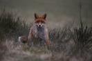 Der Rotfuchs (Vulpes vulpes)...