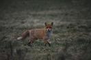 Einäugiger Fuchs...