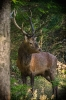 König der Wälder...