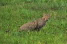 Europäische Wildkatze...(Felis silvestris silvestris)