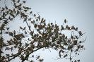 Bergfinken...Steinbach...Februar 2015